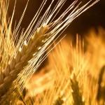 В Белгород-Днестровском собрали первые 100 тыс. тонн зерна