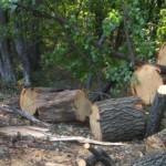 Браконьерская вырубка лесов